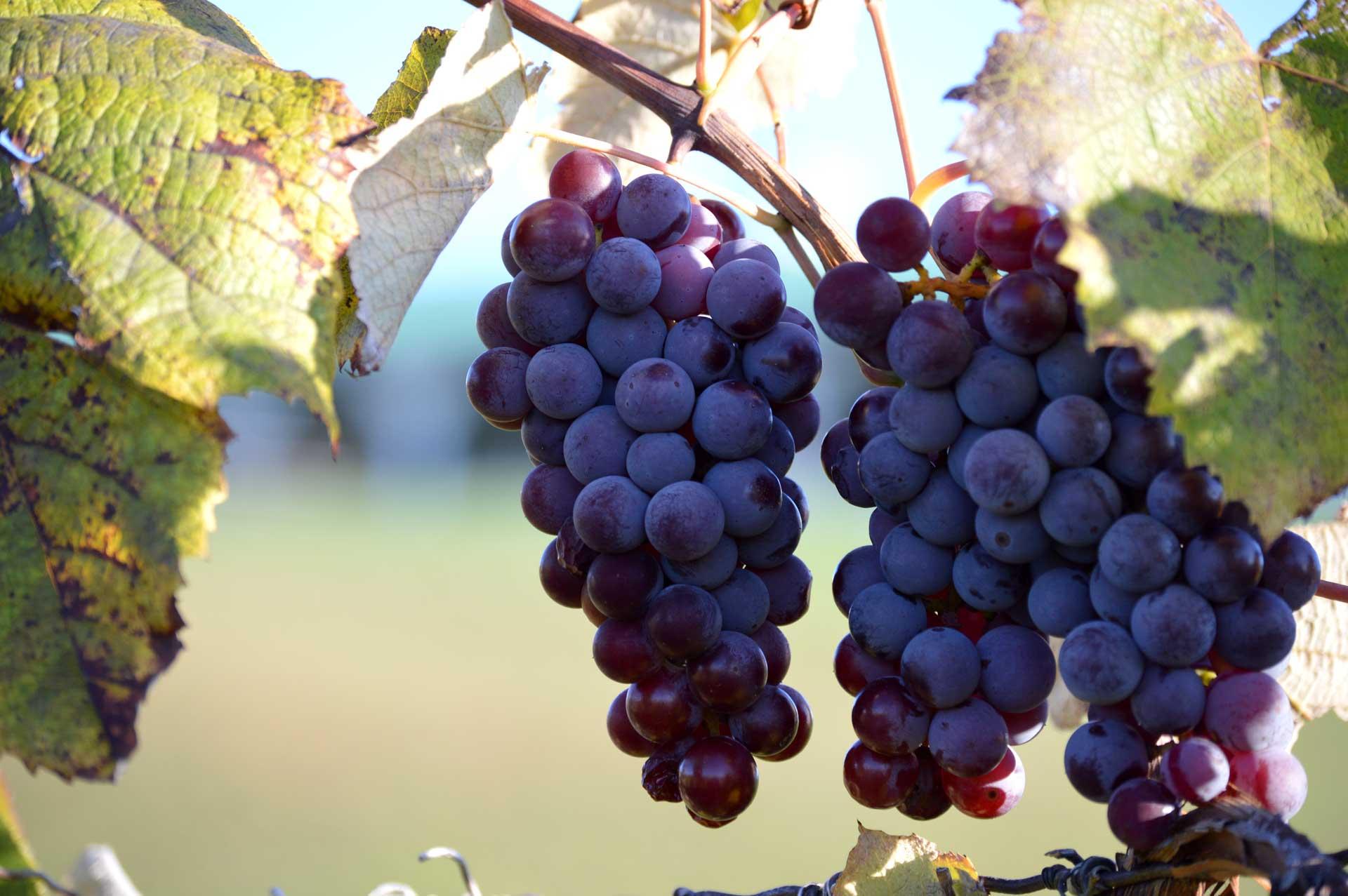 Noble winery grape vine